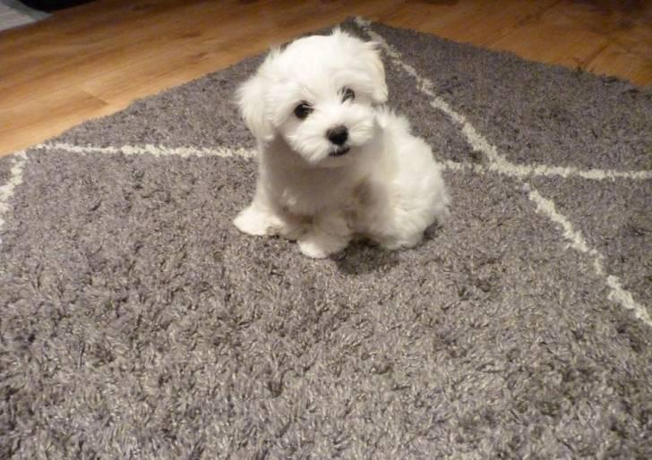 regalo cachorritos de Bichon Maltes de Pura Raza