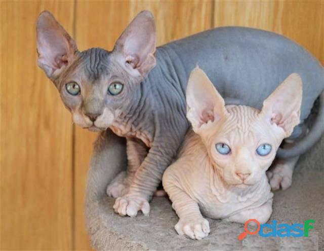 Súper gatitos Sphynx masculinos y femeninos disponibles ahora