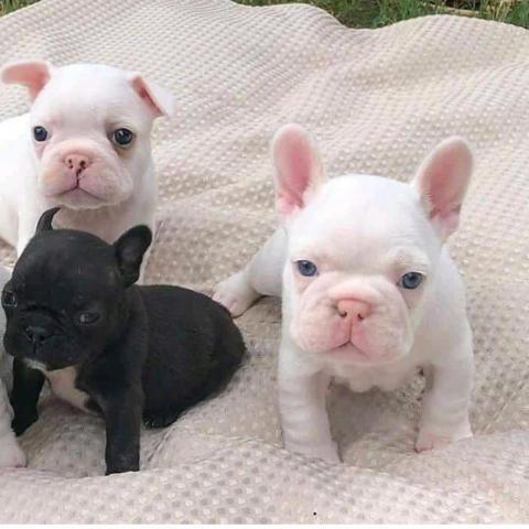 Regalo Cachorros de Bulldog Francés bien entrenados.