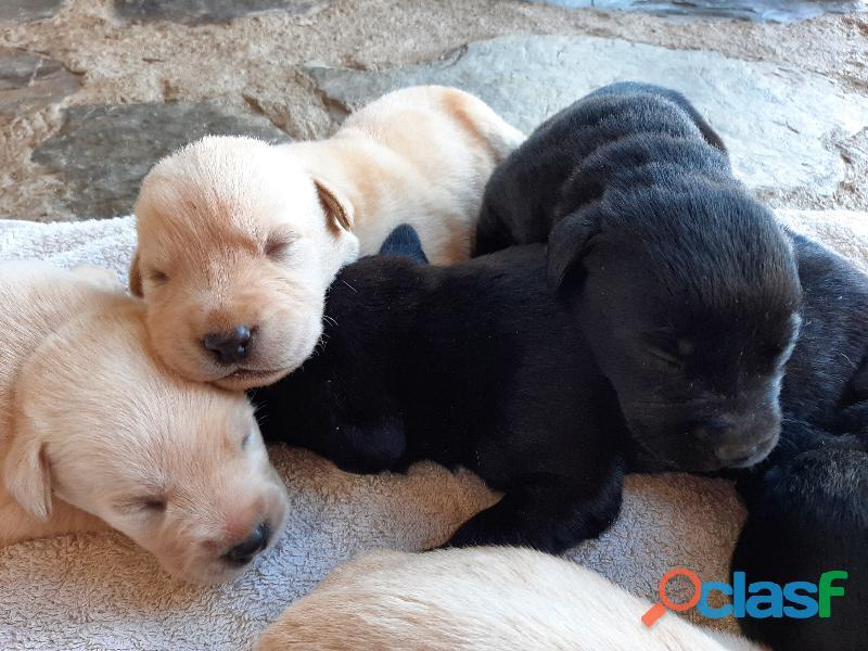 Camada de Labradores Retriever 1