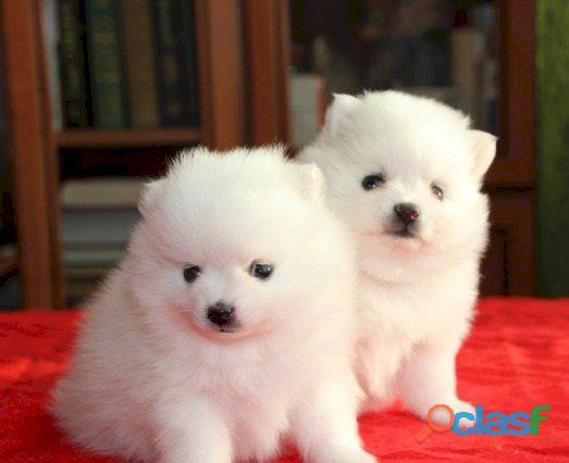 Tengo dos hermosos cachorros de Pomerania para su aprobación