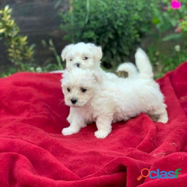 Adorable Cachorros Mini de bichón para Adopción.