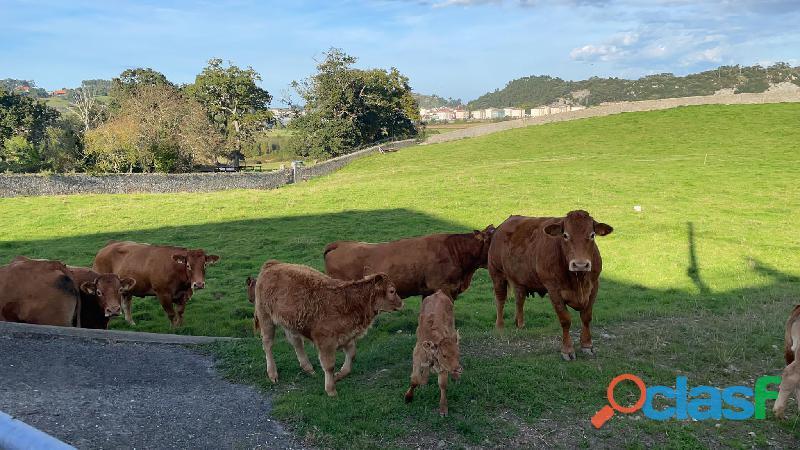 Venta de terneros Limousin pura raza